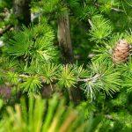 huis healing, denneboom, zuiverheid