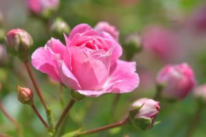roos, natuurwezen, hartchakra, liefde