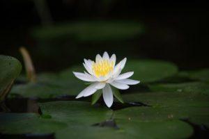 bloem, liefde, heelheid